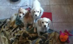 Males only. 9 weeks old. Vet checked dewormed and first needles done. Health records. Tails are docked. Friendly pups excellent with children. Pups do shed. Will negotiate on price for our last male pups. Will mature around 20 pounds. Oshawa.