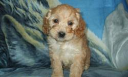 COCKAPOO PUPPIES Mom is a gorgeous Cocker Spaniel, dad a handsome Mini Poodle 4 girls and 1 boy available now from cream to apricot colours Friendly and people oriented breed that is energetic, fun loving and affectionate They are intelligent and eager to