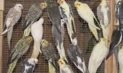 I'VE GOT LOTS OF COCKATEILS TO CHOOSE FROM STARTING AT $40 EACH AND UP FOR THE FANCIER VARIETIES - NO CAGES. U PICK EM - I'LL CATCH EM. CLEARING OUT OF MUCH OF MY STOCK SO GET THEM WHILE THEY ARE HOT ! NORTHERN PARADISE AVIARY LOCATED NEAR HUNTSVILLE 705