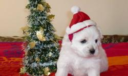 Coton De Tulear Puppies 6 Puppies, 4 Girl, 1 Boy Sold - Only 1 Girls Left                     $1150 (Now for a limited time $750) Coton de Tulears are very friendly and have great personalities, each one so unique in their own way. The puppies have been