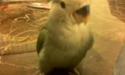 Hi, I have five very friendly and tame lovebirds for sale. One of the lovebirds is peach faced dark green body. while the other four are white faced teal colored body. The lovebirds are only one month old. They were taken out at 10 days to be handfed so
