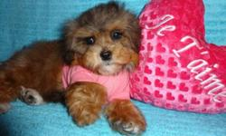 Toy morkie female, dewormed, first set of shots, vet checked, non-shedding and hyporallergenic, ready to go now!, she will be fully grown 6-7lbs, heath guarantee included, for more info:647-839-6804. :)