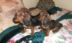 We have 3 purebred Dachshund puppies  left from a litter of 7 (2 girls, 1 boy). They are vet checked, de-wormed and have had first and second shots. Mom and Dad are shown, Mom was first generation from Germany with papers, and Dad is registered with the