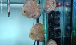 Discus for sale 7 all together, 6 Large Pigeon maps 1 Extra Large Flora. Pickup only. They are all around 5.5 -6 inch. This fish are only for experience and serious Discus hobbyist only please.