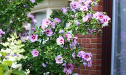If you are looking for perennials that are beautiful, hearty and low-maintenance, come by my garden and select from these already-potted and well-rooted plants: I am a long-time and trusted seller of beautiful healthy perennials. I have many repeat