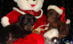 DOBERMAN PINSCHER PUPPIES  Two black/tan females and one red/tan male are still available Tails are docked and  dew claws removed Canadian Kennel Club Registered They will be sold with a  Full veterinary health check Vaccinated and De-wormed Micro