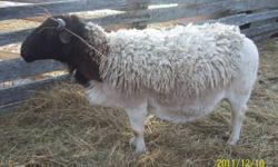 Purebred but not registered , 3 year old ram, excellent breeder.  Can email pictures, can't seem to post them.