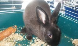 The Critter Corner in Markham is looking for a good home for a Dwarf rabbit. He is a male, aprox 10 months old. He is very friendly, and comes right up to the cage when you walk by looking to be patted. He is only $10! We are also offering him for FREE if