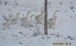 I have Embden and White Chinese geese For sale 1 year old starting to lay the odd time. 1 Chinese and 3-4 Embden Geese   Will trade for other birds such as ducks chickens quail and turkeys Call 705-722-6123