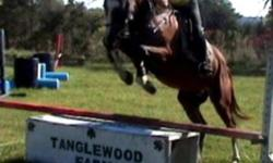 Very fancy 7YR 16H Quarter Horse X Gelding, bay with 4 white socks and stripe.  He has a long flowing stride, big barreled and an excellent mover.  Armani is well schooled on the flat and over fences jumps a course, hacks out, has done the hack division