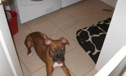 hi im selling my boxer shes 5 and half month old , really smart really good dog good with kids fun to play with pleasecontact 7057705679 thank you