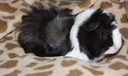 I have a very sweet female ginnea pig for sale, i got her in the end of October as a baby. She will come with her cage,her house, water bottle, food dish, and what ever left over food there is. She is also very friendly and hasnt bit anyone. *if you think