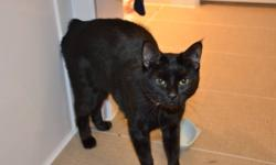 Dear friends, our cat is looking for a new loving home. We recently had a baby and can no longer able to keep a cat. Cats name is Puma, she is about year and a half old very playful and smart. She is all black MANX breed ( no tail) and not neutered. She