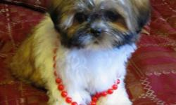 Adorable little Shih Tzu puppy for sale!!! Great with children and other pets Very cuddly and tiny, will be 8-10 Lbs. when fully grown She has already been dewormed and received her first set of needles. She comes with a one year written health guarantee