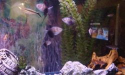 Ive got, two 20gal tanks for sale, One is all community fish as seen in pictures, And the other is also a 20gal with one baby green spotted puffer and one adult green spotted puffer, Both come with: New Heaters, Slim 20 filters, Fish, Decor, Lids and