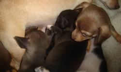 Hello i have 5 male chihuahuas forsale. They will have there first set of shots, dewormed and vet checked when they are 7 weeks old. They will be ready to go January.9. We have two beautiful browns, one grayish blackish, and two black. They love to play,