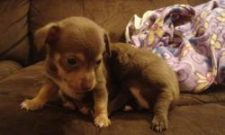 Hello We have 5 male chihuahuas for sale. They will be ready to go January.9. We have two beautiful browns, one grayish blackish, and two black. They love to play. We are Asking  $425.00 obo. Note>>>>must see to appreciate the colors hard to tell by the