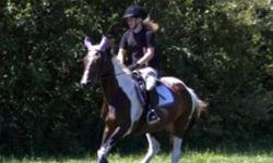 Flashy pinto mare approx 14.3hh for sale, available December 1. Paint x Arab in her late teens. Good for lessons and shows, jumping and trail rides. Good for bathing, ties, clips, trailers, vet, farrier. Rider moving up to a bigger horse. This ad was