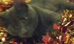 Hurley is a 5 month old kitten who needs a good home!  He is a cute, lovable and people loving cat.  He is very social and loves to play.  Unfortunatly, the owner cannot keep him due to allergies.  Hurley will come with his litter box, his carrier, all