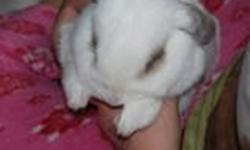 White lop-eared bunny is looking for a new, loving family. He is good with other pets (he currently lives with a dog and cat) and is trained to use his litter box. Comes with his own hand built wooden cage, water bottle and food dish. Pick-up is