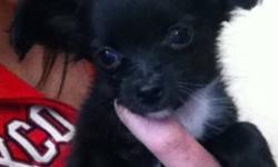 Hi I'm looking for a black female long haired chi. I'm hoping to adopt as I do not have the money for the cost of the dog, I do have a Medicare card for the pup if there is any vet services needed. I got a puppy this past Thursday and I was told he was 13