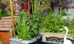 Interesting selection of aquatic and garden plants. Water Iris (yellow flag)- $6 ; Papyrus (different sizes) can be hydroponic or in soil, so good for ponds, water features, and single pots- $3; Monbretia/Crocosmia (orange) -2 for $1; Budleia (Butterfly