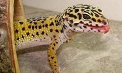 I am looking for any type of geckos for free that I would LOVE to take care of. I already have two leopard geckos and are well taken care of. Also if you want to give any tanks, reptile supplys like sand, huts, heat pads, lights, rocks, climbing wood that