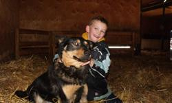 German Shepherd Colour: Black/Brown Male Very nice & friendly dog with kids,and he doesn't jump!!! This dog is two years old, and has to go to a new home. We have another dog with puppies, so we are selling this dog to lighten the load. This dog is