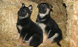 German shepherd puppies, CKC registered,  black and tan,working german bloodlines,including Shutzhund Canadian champion. If you're looking for a guard dog or a companion these will be both. Large style with straight backs, puppies that are easy to train