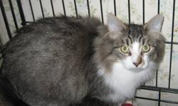 Hello my name is Giz I am a cute little boy . I am a little shy at first ,but once I get to know you I love belly rubs . I am nuetered with shots and will come with vet papers . Oh yes and I have been also tested for Fiv/Feluc and I was neg. If you are