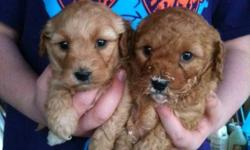 Goldendoodles puppies,  4 males DOB Oct 20th, 2011 Hypo-allergenic, Non-Shedding, Hand-raised and well socialized.  Vet checked, 1st vaccination, dewormed . Medium size 15-20lb's full grown. Ready for Christmas. Located in York Region 647-523-8144