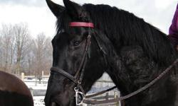 Beautiful, Big, Black, Percheron/Thoroughbred Mare, 5yr. old. Owner moving to Kingston and needs to down-size. Has been in training for past 2 months and coming along nicely.Walk,trot, canter-started over small jumps and trotting poles and a little leg