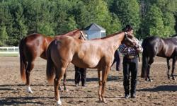 """Arm Candy"" is a beautiful AQHA/APHA reg'd 2 year old filly. Sorrel with chrome and sweet personality. Approx stands 15.2hh and growing. This filly has great bloodlines and is by the amazing stallion ""Seriously Secure"". Arm Candy has been to shows and won"