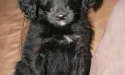 Beautiful F1 Golden doodle Puppies! Both of the parents are wonderful family dogs, raised with kids and other pets. Mom is a gorgeous purebred Golden Retriever, everyone who meets her falls in love. and Dad is a handsome purebred standard Poodle.