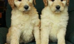 We have absolutely gorgeous golden doodle puppies that are now 8 weeks old and ready to find new homes! They were born on November 25. There are females and males at this time. These goldendoodles are light wavy to curly and will have little shedding,