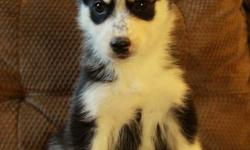 Stunning purebred husky puppies available to new homes now at 8 weeks old! They were born on November 16. There is 1 male and 3 females available at this time. We have puppies with 2 blue eyes, 1 blue and 1 brown, or both brown. We are welcoming visits to