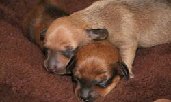 We have 2 litters of Beautiful Mini Dachshund Puppies, available to go to their forever families late March. 3 Boys 3 Girls First Litter Born January 22, 2012 1. Black Girl ? Birth Weight 7.2 ounces ? Potentially Spoken For 2. Silver / Black Dapple Girl ?