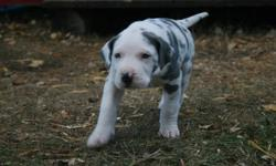 GREAT DANE PUPPIES .. We have 6 non-registered puppies. 3 female and 3 males will be ready to go to a loving home on Nov. 15. They will be vet checked, have their shots and be dewormed Call Pam at 780-305-4691. 1 female and 1 male left!!!