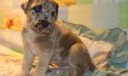 GREAT DANE PUPPIES RARE & UNIQUE CHOCOLATE COLOURED MARKINGS WITH OCEAN BLUE EYES MALES AND FEMALES IN RARE CHOCOLATE MERLE DILUTE AND  FAWN WITH BLACK MASKS READY TO GO TO  NEW HOMES ON JAN. 20/12 THEY WILL BE VET. CHECKED, AND GIVEN A CLEAN BILL OF