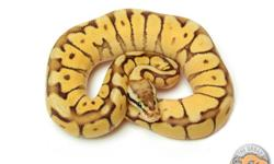 GREAT SELECTION OF BALL PYTHONS  ? AVAILABLE NOW!! If you're a startup hobbyist, a seasoned collector, an expert breeder or simply looking to find a special pet, we invite you to browse our web site and learn more about what makes our Ball Pythons so