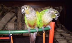 leave me an email if you are serious.  I do not want these two birds to be separated - they are bonded and it would break their spirit if they were ever to be apart.  My price also includes the very large cage that has been home to them.  They are used to
