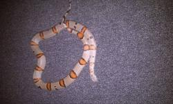 this is a 37 inch female grey banded king snake. she comes with all the accessories and a tank and stand. she is very friendly and has never bit. she is great with kids and will be a great friend. 175 FIRM. STARTED AT 300 AND NOT AM AT 175. SO 175 IS