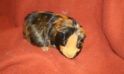 one male guinea pig needing his own home. OB is a nice young pig, currently living with three young boars. he is about five months old. Mostly smooth coated, has some longer wispy hairs on his back end. Asking $5 or best reasonable offer. delivery to
