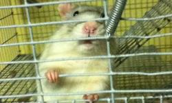have two beautiful lovely males available, their names are Pistachio & Cashew. Both are approx 7 months old.   Unfortunately, my mother just found out she has Cronic Lung Disease, so having the rats in our home are bothering her breathing. - So, I have to