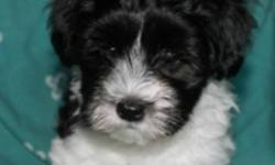 1 Girls & 2 Boys, dewormed, vet-checked with accompanying first shots.   High quality Havanese puppies with champion bloodlines. Additional pictures of current litter and previous litters can be found on our website.   Puppies are 12 weeks and ready to go