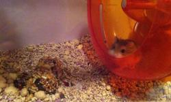 Looking to rehome my dwarf hamster, she recently lost her buddy and i just dont have the time to spend with her so i am hoping to find her a home where she will get lots of attention or someone who already has one and is looking to upgrade. She is