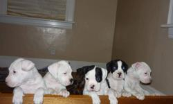 I have 1 puppies for sale there are ready to go to good homes .( I will sale them for $400. without shots) I have mother and father there in my home. I also have two sets of siblings from past litters.. so you now how big they will get. I am hopping they