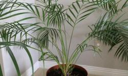 I have this indoor plant for many years. It is time to change. Yours for $15 (pot included) Quite a good size to fill your living/dining/sun room. Cash & carry from Stittsville.