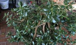 Large Jade plant $75 Have other plants available at various prices