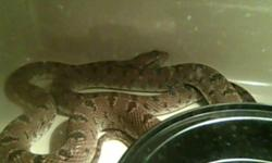 I HAVE A BABY KING RAT SNAKE UP FOR GRABS, HE ISN'T VERY FRIENDLY AND DOESN'T LIKE TO BE HELD. HE IS NOT FOR BEGINNERS BUT HAS BEAUTIFUL MARKINGS AND WITH SOME WORK COULD BE VERY TAME. THANKS 289-222-0171